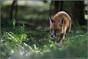 Fuchs auf der Jagd... Rotfuchs *Vulpes vulpes*