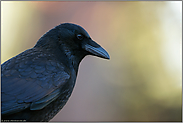 ein Rabenvogel... Rabenkrähe *Corvus corone*