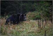 im Morgengrauen... Europäischer Braunbär *Ursus Arctos*