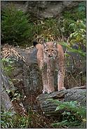 im Luchsrevier... Eurasischer Luchs *Lynx lynx*