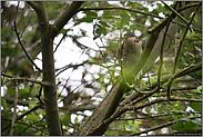 der Waldgeist... Sperber *Accipiter nisus*