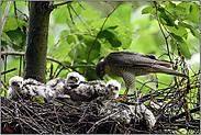 Sperbermännchen am Nest... Sperber *Accipiter nisus*