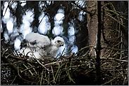 Federn aufschütteln... Sperbernestling *Accipiter nisus*