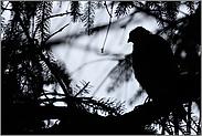 Schatten im Wald... Sperber *Accipiter nisus*