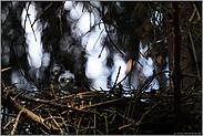 geheimnisvoll... Sperberküken *Accipiter nisus*