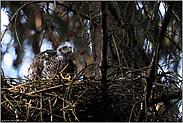 noch immer im Nest... Sperber *Accipiter nisus*