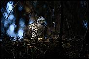 wunderbares Licht... Sperber *Accipiter nisus*