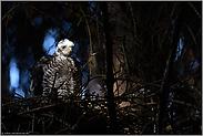 im Lichtspot... Jungsperber  *Accipiter nisus*