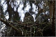 noch einmal gemeinsam im Nest... Jungsperber *Accipiter nisus*