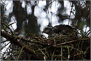 Hakenschnabel... Sperber *Accipiter nisus*