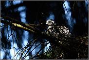 Lichtspiele im Wald... Sperber *Accipiter nisus*
