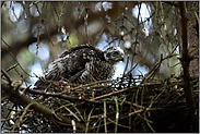 zurück im Nest... Sperber *Accipiter nisus*