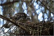 Blick ins Nest... Sperber  *Accipiter nisus*