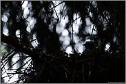 im Waldesdunkel... Sperber *Accipiter nisus*