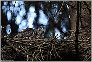 im Nest ist's doch am schönsten... Sperber *Accipiter nisus*