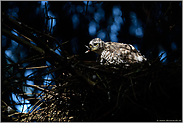 Greifvogelrupfung... Sperber *Accipiter nisus*