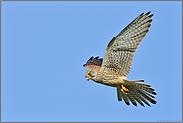 im Rüttelflug... Turmfalke *Falco tinnunculus*