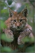 Tierkinder... Eurasischer Luchs *Lynx lynx*