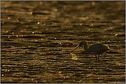 im Wattenmeer... Europäischer Löffler *Platalea leucorodia*