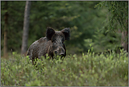 Schwarzkittel... Wildschwein *Sus scrofa*