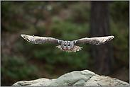 Spannweite... Waldkauz *Strix aluco*