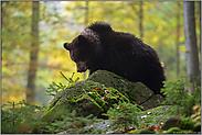 mitten im Wald... Europäischer Braunbär *Ursus arctos*