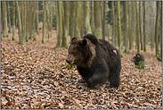 die Bären kommmen... Braunbären *Ursus arctos*