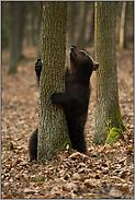 das Ziel vor Augen... Europäischer Braunbär *Ursus Arctos*