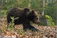 auf großen Tatzen... Europäischer Braunbär *Ursus arctos*