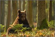 Spieltrieb... Europäischer Braunbär *Ursus arctos*
