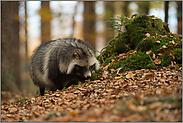 excellenter Geruchssinn... Marderhund *Nyctereutes procyonoides*
