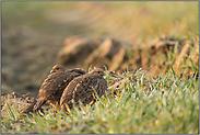 kleine Feldhühner... Rebhühner *Perdix perdix*