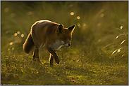 unterwegs... Rotfuchs *Vulpes vulpes*