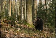 umherstreifend... Europäischer Braunbär *Ursus arctos*