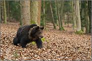 Kraftpaket... Europäischer Braunbär *Ursus arctos*