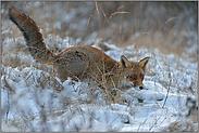 im Schnee... Rotfuchs *Vulpes vulpes*