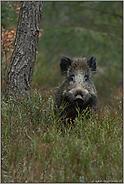 neugierig... Wildschwein  *Sus scrofa*