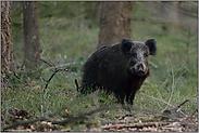 Schwarzwild... Wildschwein *Sus scrofa*