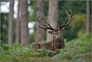 Blickkontakt... Rothirsch *Cervus elaphus*