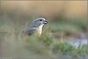 im hohen Gras... Kiefernkreuzschnabel  *Loxia pytyopsittacus*