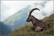 ganz gemütlich... Alpensteinbock *Capra ibex*