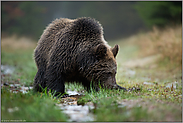 die Nase am Boden... Europäischer Braunbär *Ursus arctos*