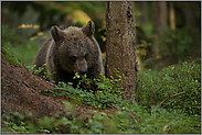 in den Blaubeeren... Europäischer Braunbär *Ursus arctos*