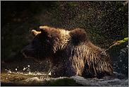kaltes Bad... Europäischer Braunbär *Ursus arctos*