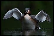 ein prächtiger Vogel... Haubentaucher *Podiceps cristatus*