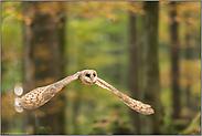 lautloser Flug... Schleiereule *Tyto alba*