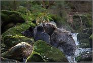Trockenschleuder... Europäischer Braunbär *Ursus arctos*
