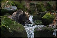 hungrig... Europäischer Braunbär *Ursus arctos*