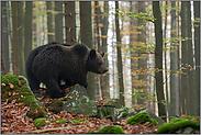 frühmorgens im Wald... Europäische Braunbären *Ursus arctos*
