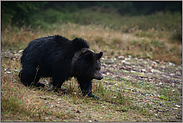 frühmorgens... Europäischer Braunbär *Ursus arctos arctos*